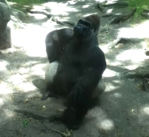 This gorilla posed like we were the paparazzi