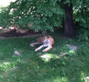 Yuri the tiger enjoying the shade on a hot day