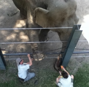 Ever wonder what it looks like when an elephant gets a pedicure? It looks like this.