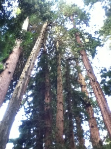 Tall, tall trees
